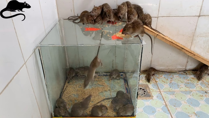 New mouse capture method / best method of catching mice