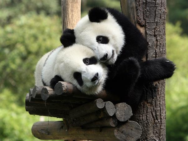 Мама  панда: смертельный выбор