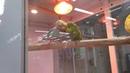 Волнистые попугайчики пара