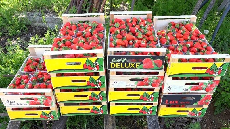 Stižu domaće jagode