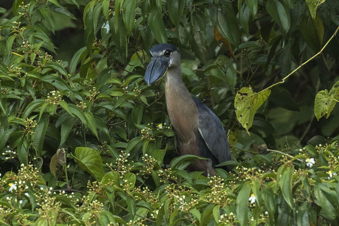 Уникальная птица Челновклюв