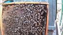 Удивительные факты из жизни пчёл.2 матки в улье.Пчела складывает пыльцу и трамбует ячейку головой.