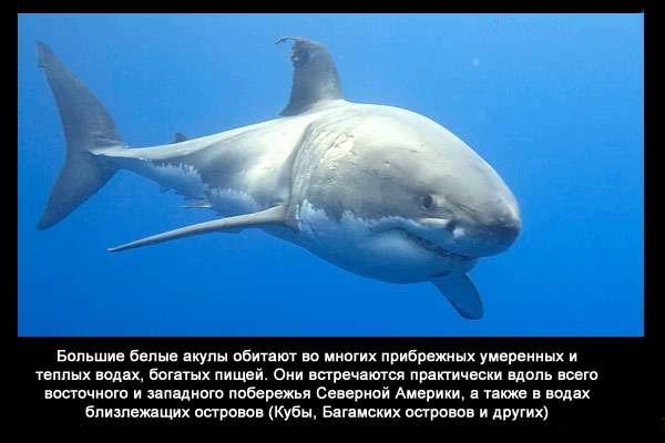 валтея - Интересные факты о акулах / Хищники морей.(Видео. Фото) NjmNnt-dySg