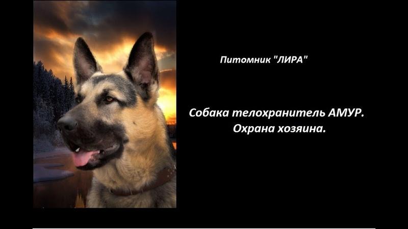 Собака телохранитель Амур Охрана хозяина Питомник ЛИРА