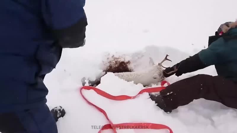 СпасРи увязшего по шею в снегу северного оРеня Рруппа Опасная ПРанета