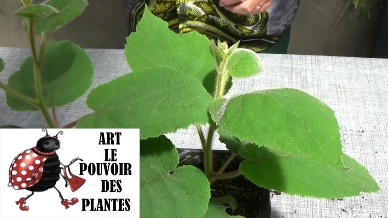 Tuto jardinage Semis de kiwi Actinidia chinensis Plante vivace