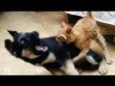 Собачьи бои. 👍 Pitbull vs cat.👌 Питбул VS кошка кто победил