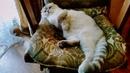 Вислоухий кот . белый скоттиш фолд!