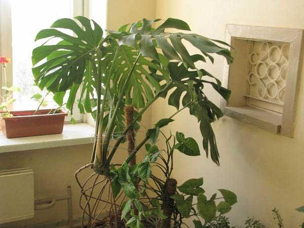 Монстера деликатесная Монстеры деликатесные - тропические лианы внушительных размером. Монстеры деликатесные идеальны для начинающих цветоводов. Листья монстеры деликатесной: до 1 м в диаметре,
