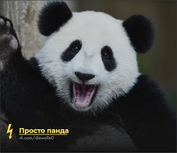 Скажи панде: Приве-е-ет! Панда милая и отдыхает. Будь как панда)