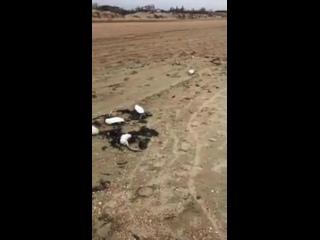 Жители Анапы, Геленджика и Джугбы публикуют в соцсетях видео с пляжей, буквально усыпанных трупами морских животных и птиц