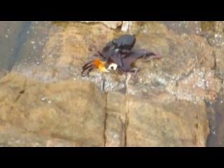Осьминог охотится на краба