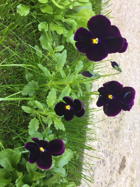 Цветение виолок радует,не зря над рассадой с бубном...