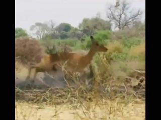 Эпичный прыжок ягуара на импалу!