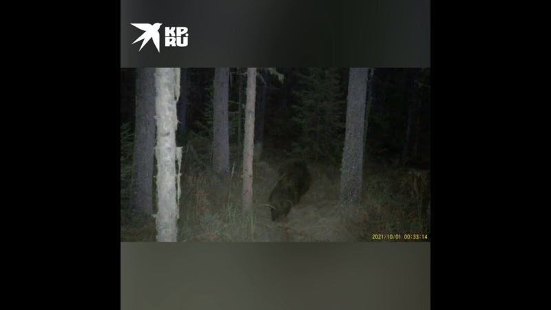 В нацпарке Красноярские столбы медвежата и рысята попали в поле зрение фотоловушки