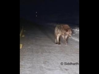 размеры этого волка
