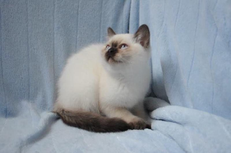 Британский котенок окраса шоколад поинт