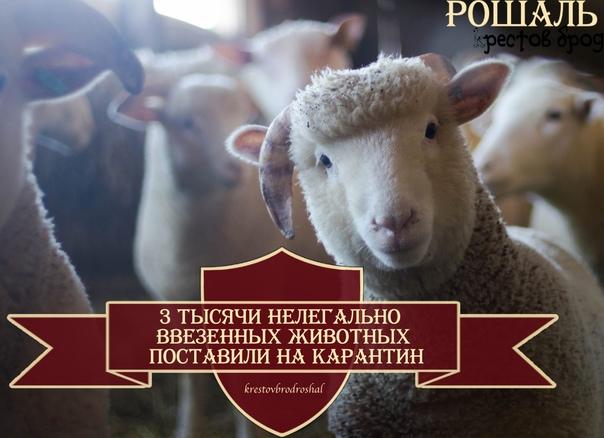 🐮 Ветеринары Подмосковья отправили на карантин бол...