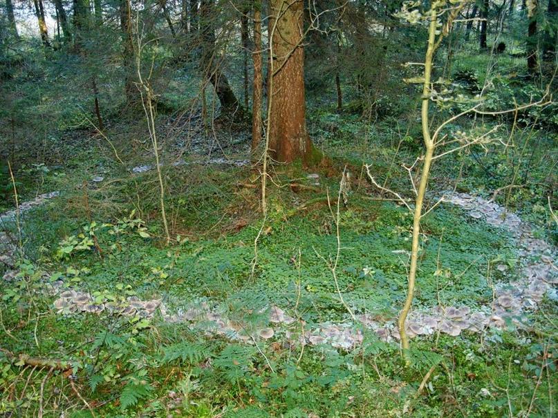 По-английски «ведьмины круги», образуемые грибницей, как раз и зовутся «кругами фей», «кругами пикси» или «эльфийскими кругами».