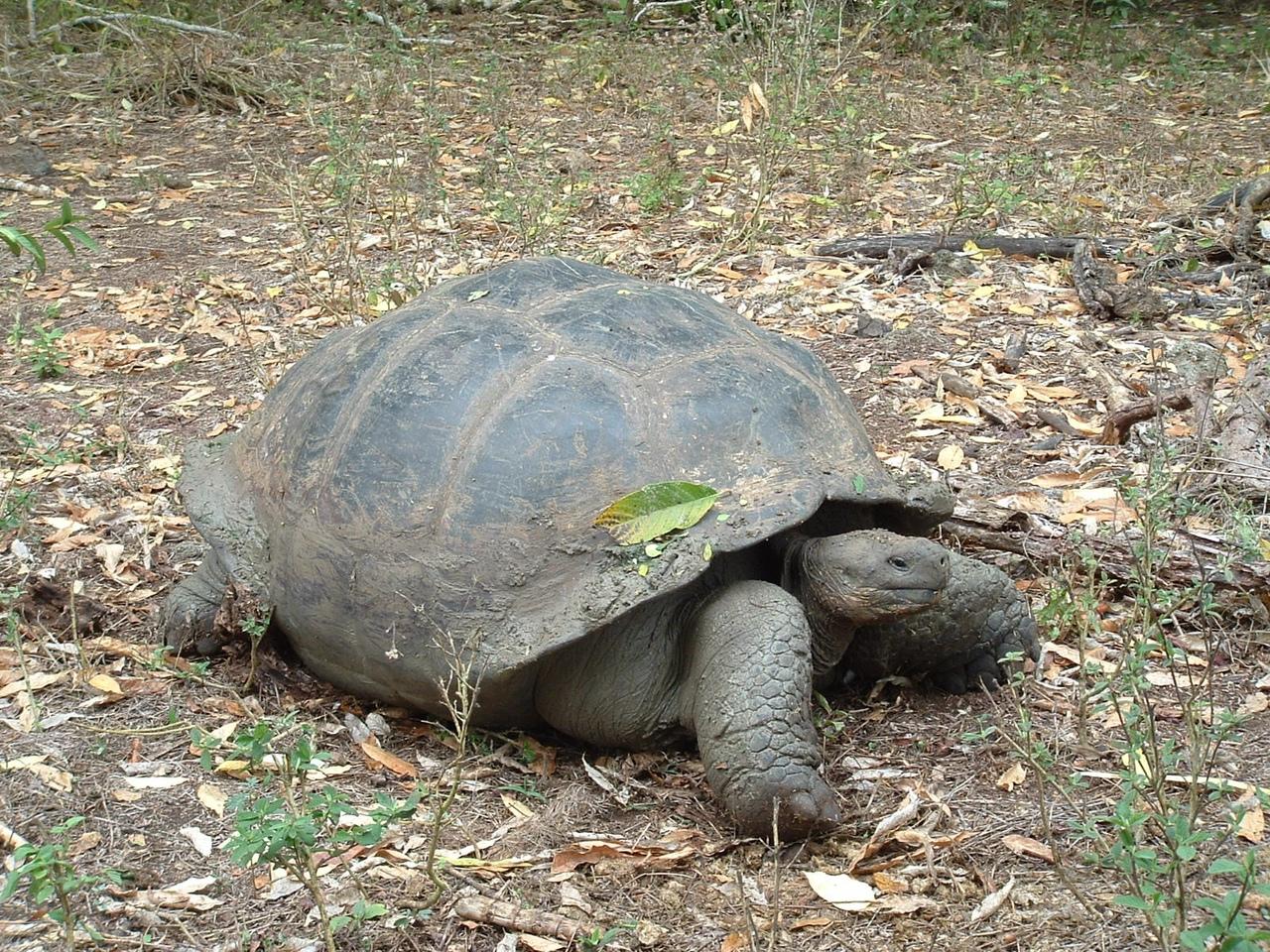 Слоновая черепаха.
