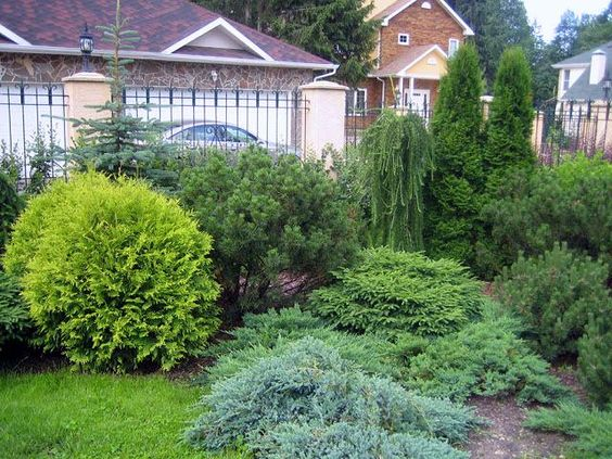 Хвойные растения: советы по подбору и посадке, изображение №13