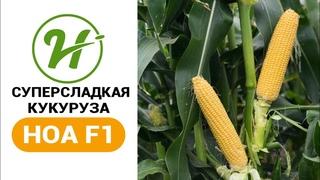 Ранняя супер сладкая кукуруза / Ноа F1