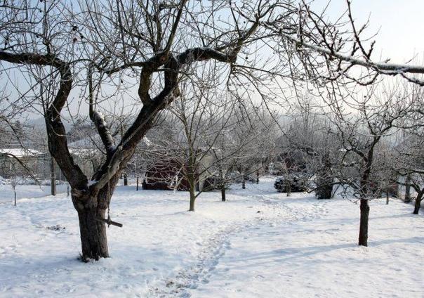 """Нужно ли утаптывать снег вокруг деревьев  аргументы """"за"""" и """"против""""."""