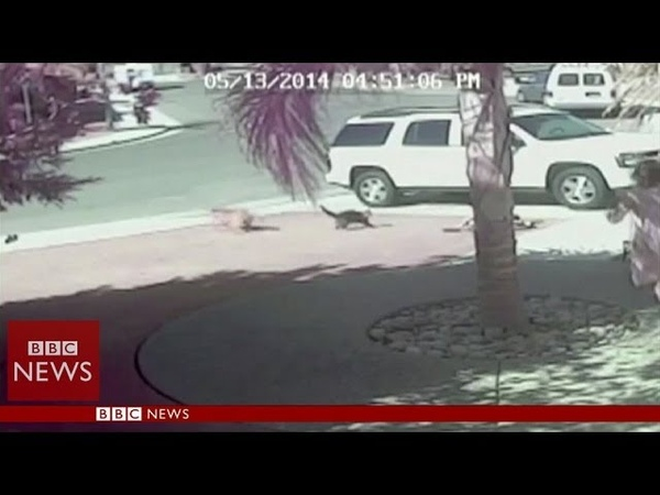'Super Cat' saves boy from dog attack in California BBC News