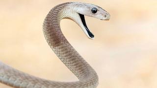 Die Schwarze Mamba, ist es möglich, einen Biss zu überleben?Die gefährlichste Schlange der Welt!