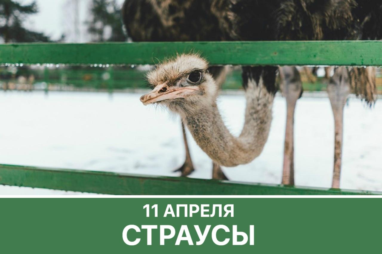 Афиша Страусиная ферма / 11 апреля / Днёвка