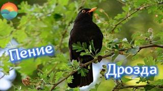 Пение Дрозда для Лечения Мигрени, Тахикардии и Хронической Гипертонии / Blackbird Song