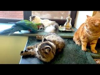 коты в шоке от поведения попугая Арчи ) Funny Archi parrot is dissatisfied with behavior of cats